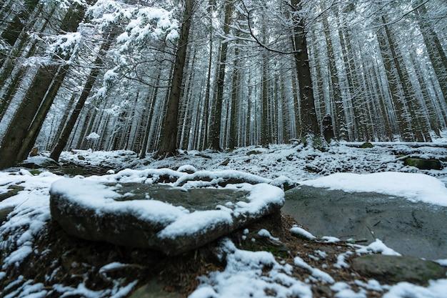 Hohe dichte alte fichten wachsen an einem verschneiten hang