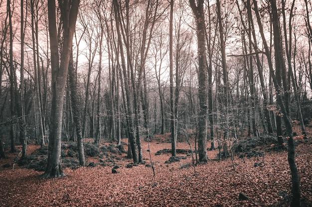 Hohe kahle bäume in einem wald im herbst unter sonnenlicht - ideal für gruselige konzepte