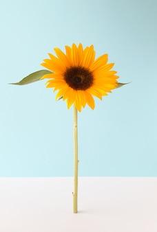 Hohe sonnenblume auf einer kombination aus blauem und weißem hintergrund. frühling sommer blumenkonzept. schöne natürliche blume.