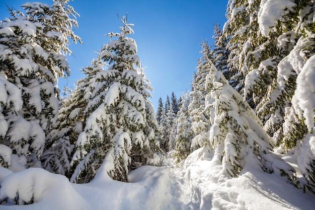 Hohe tannen mit tiefem schnee bedeckt