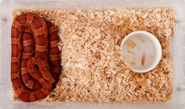 Hohe winkelansicht der kornnatter oder der roten rattenschlange, pantherophis guttattus, im käfig
