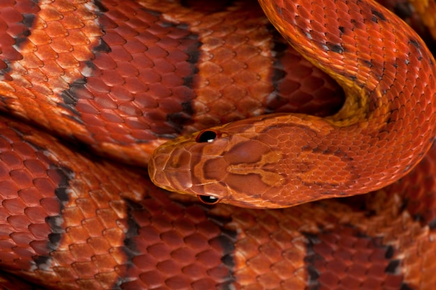 Hohe winkelansicht der kornnatter oder der roten rattenschlange, pantherophis guttattus
