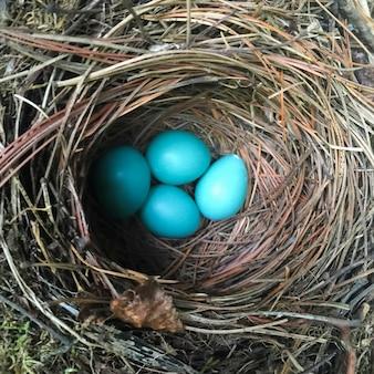 Hohe winkelsicht von robins eiern im nest, kenora, see des holzes, ontario, kanada
