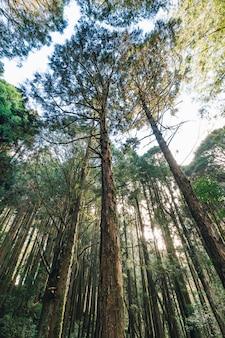 Hohe zedern, die von unterhalb im wald in alishan national forest recreation area in chiayi county, alishan-gemeinde, taiwan schauen.