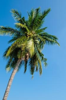 Hoher kokosnussbaum