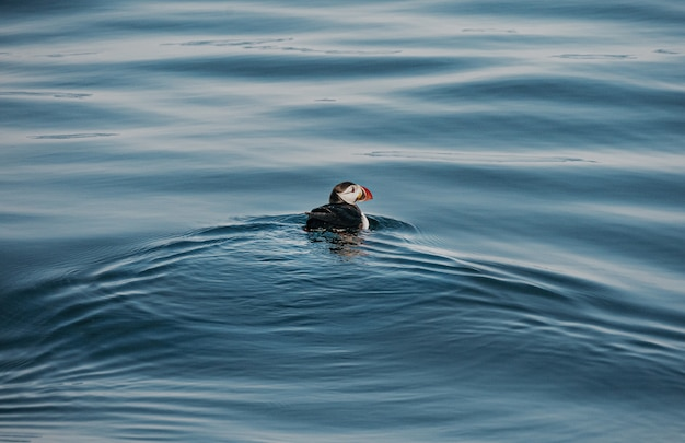 Hoher winkelschuss eines niedlichen papageientauchervogels, der im ozean schwimmt