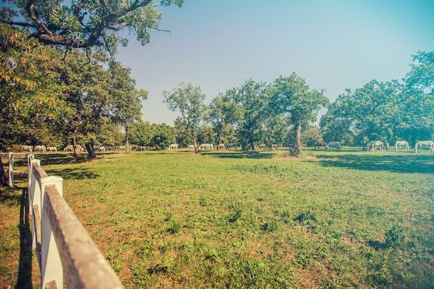 Hoher winkelschuss eines sonnigen feldes bei lipica, slowenien und pferden, die im hintergrund grasen