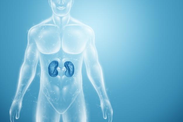 Hologramm der nieren im menschlichen körper