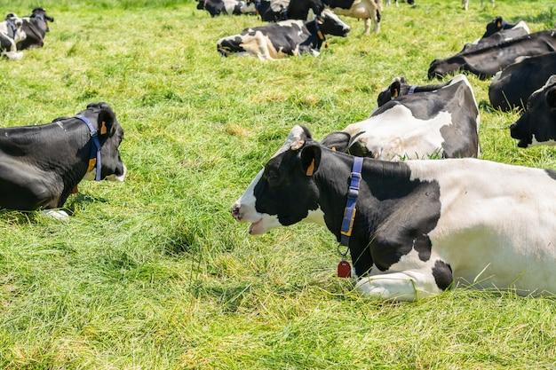 Holstein-friesische kuh, die für bild auf einem bauernhof aufwirft.