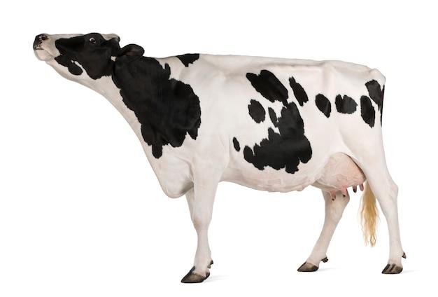Holstein kuh stehend
