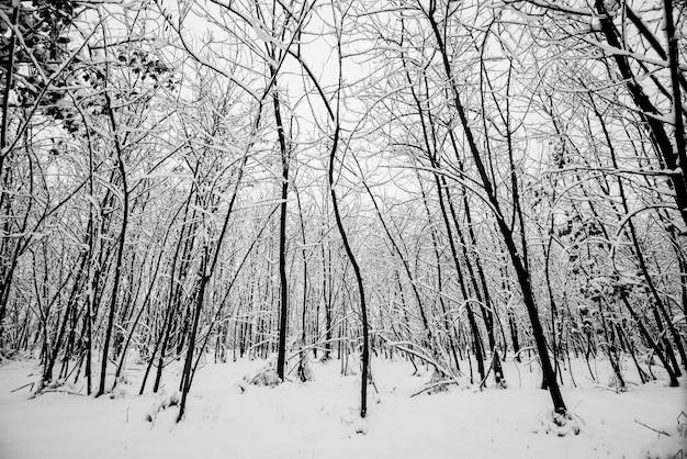 Holz und bäume wald während eines großen schnees. schnee überall für schwarz-weiß-kältekonzept