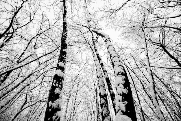 Holz und bäume wald während eines großen schnees. schnee überall für schwarz-weiß-kaltbildkonzept