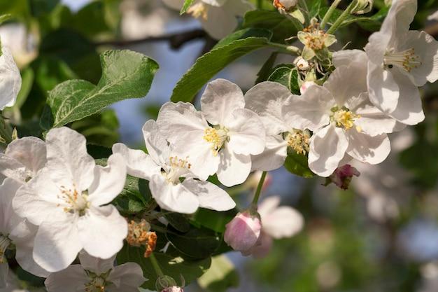 Holz und weiße blumen von apfelbäumen, die in einem obstgarten im frühling des jahres wachsen