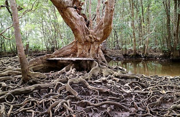 Holzbank am baumstamm im mangrovenwald mit baumwurzeln, die sich in thailand ausbreiten?