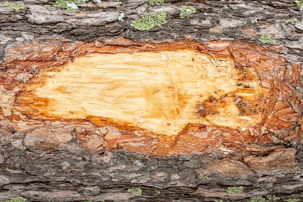 Holzbeschaffenheit. nahaufnahme brauner kiefer holzhintergrund. details auf der oberfläche der rinde einer erwachsenen kiefer