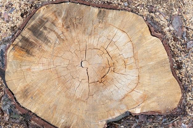 Holzbeschaffenheit vom geschnittenen kiefernstamm, nahaufnahme. querschnitt eines baumstammes. flach liegen.