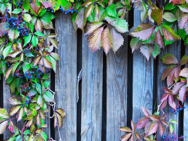 Holzgitter mit roten blättern von wilden trauben.