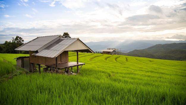 Holzhaus in einem terrassierten reisfeld gefüllt mit reis