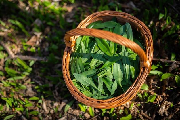 Holzkorb voller bärenknoblauchblätter, die im frühlingswald bei sonnenaufgang gezupft werden