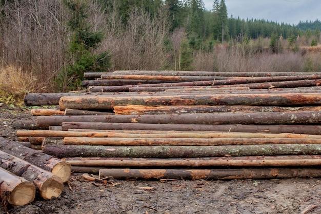 Holzstämme von kiefernwäldern im wald, gestapelt auf einem haufen. frisch gehackte baumstämme, die auf einem stapel übereinander gestapelt sind.