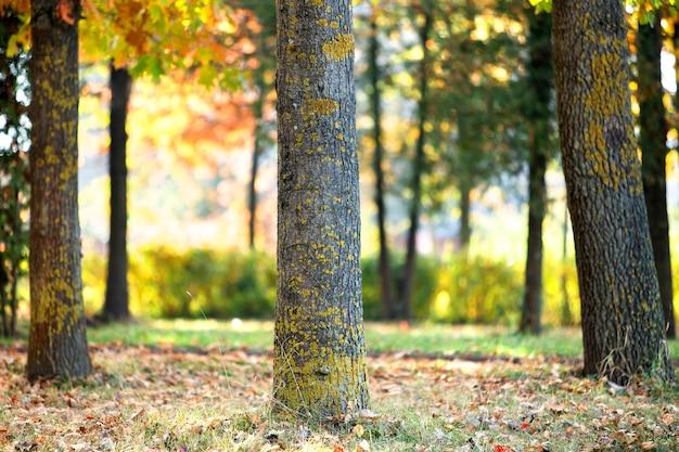 Holzstamm eines großen baumes mit gefallenen gelben blättern im herbstpark