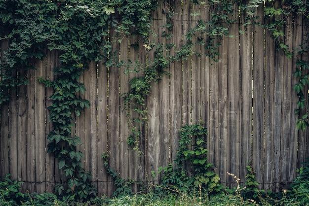 Holzzaun bedeckt mit natürlichem efeurankenrahmen.