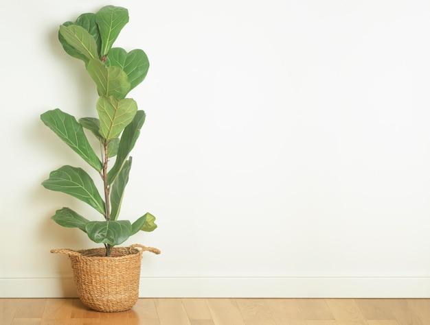 Home lyrata pflanze in einem hellen raum