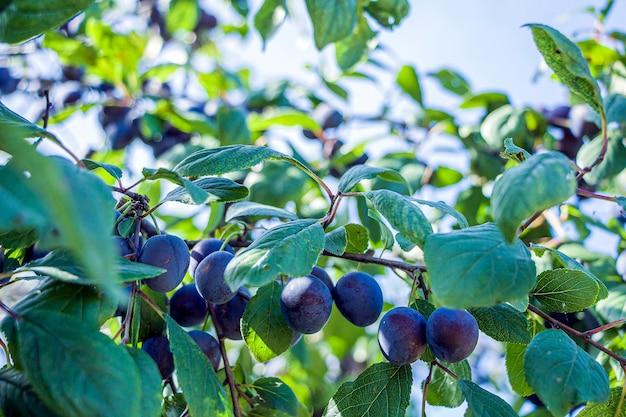 Homegrown, gartenarbeit, landwirtschaft und gvo-freies konzept. pflaumenhaus (punus domestica) obstpflanze, pflaume der rosenfamilie. natürliche pflanzliche bio-lebensmittelproduktion.