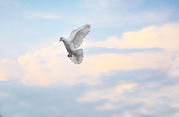 Homing taube der weißen feder, die mittlere luft gegen schönen blauen himmel fliegt