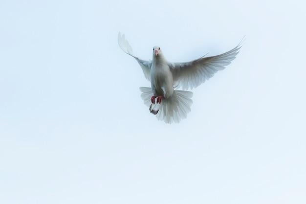 Homing taube der weißen feder, die über himmel fliegt