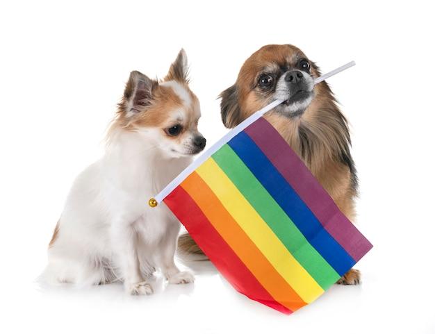 Homosexuell chihuahua im studio