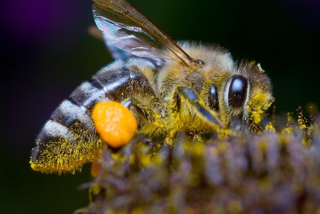 Honey bee gathering pollen auf blume