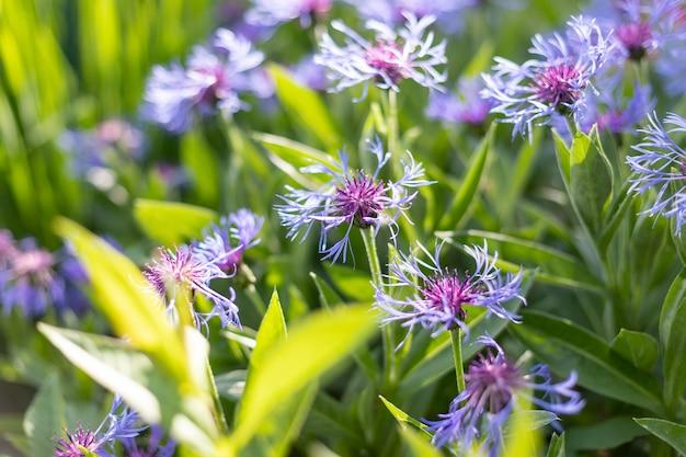 Honigbiene auf blauer kornblumenbiene sammelt blütennektar von kornblumen an einem sommertagbienen, die lila blaue kornblumen bestäuben