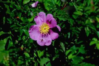 Honigbiene auf einem sumpf rose