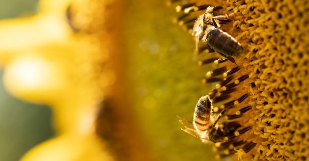 Honigbiene auf einer sonnenblumenblume, nahaufnahme. selektiver fokus.