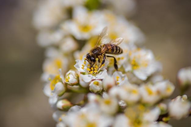 Honigbiene auf kirschpflaume blüht weiß auf niederlassungsnahaufnahme