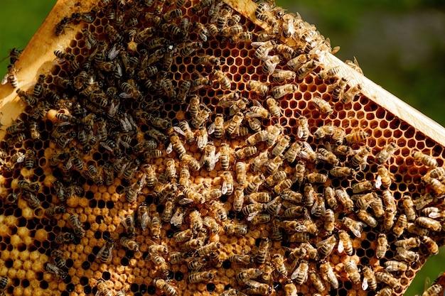Honigbiene auf wabe.