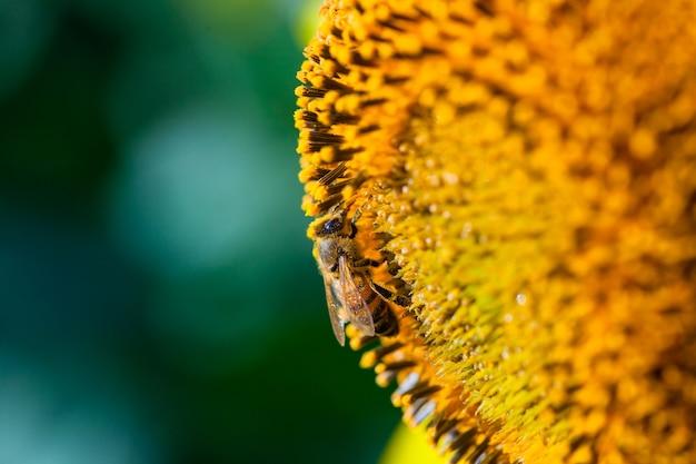 Honigbiene bedeckt mit gelbem pollen, der sonnenblumennektar sammelt, der bei sonnenblume sitzt