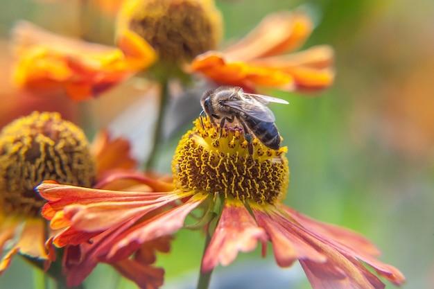 Honigbiene bedeckt mit gelbem pollengetränknektar, bestäubende orangenblüte