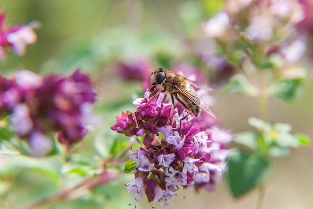 Honigbiene bedeckt mit gelbem pollengetränknektar, bestäubende rosa blume. inspirierender natürlicher blühender frühling oder sommer blühender garten. leben von insekten. makro nahaufnahme.