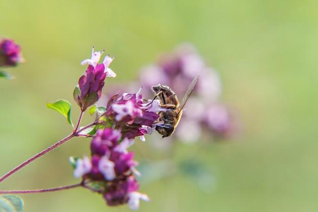 Honigbiene bedeckt mit gelbem pollengetränknektar, bestäubende rosa blume. inspirierender natürlicher blühender garten- oder parkhintergrund des frühlings- oder sommerblumens.