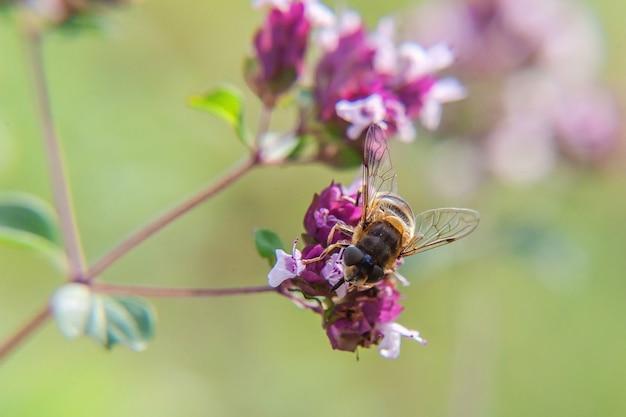 Honigbiene bedeckt mit gelbem pollengetränknektar, bestäubende rosa blume