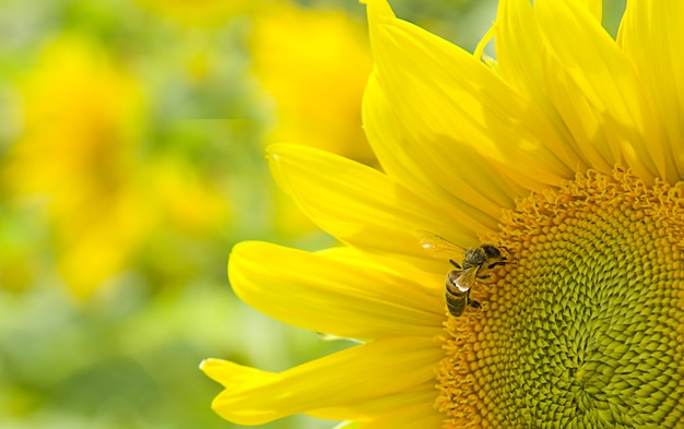 Honigbiene bestäubt blühende sonnenblume blühendes organisches feld ökologiekonzept