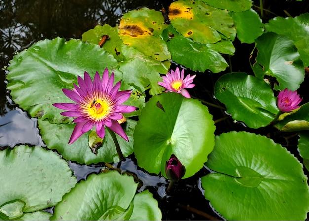 Honigbiene bestäubt eine lila seerose oder lotusblume mit grünem blatt im teich