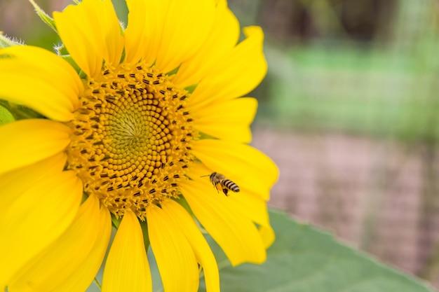Honigbiene, die an dem sammeln des nektars und der blütenstaub von einer sonnenblume mit kopienkopienraum arbeitet