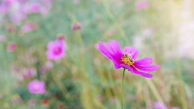 Honigbiene, die an rosa kosmosblume im schönen frühlingsmorgenblumenfeld unscharfen naturhintergrund arbeitet.