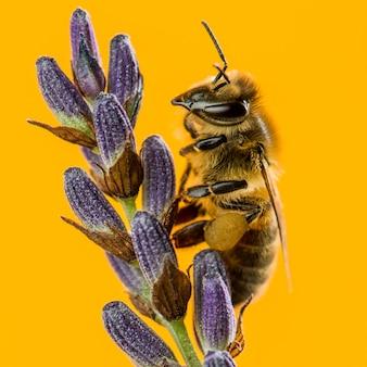 Honigbiene, die auf einem lavendel vor einer orange wand sucht