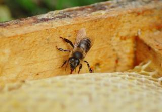 Honigbiene, flug