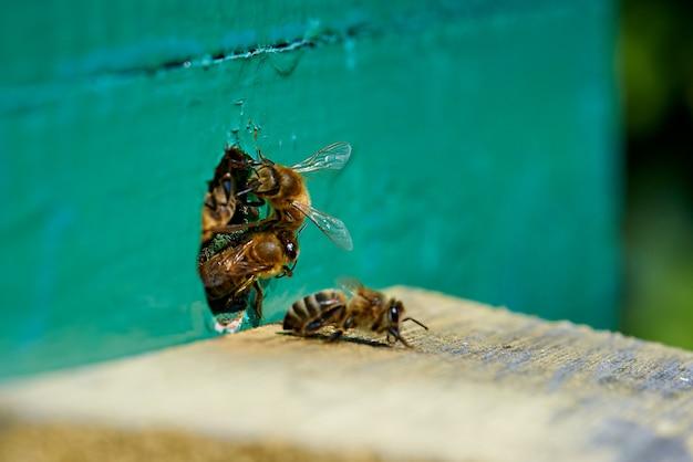 Honigbiene im eingang zu einem hölzernen bienenstock.
