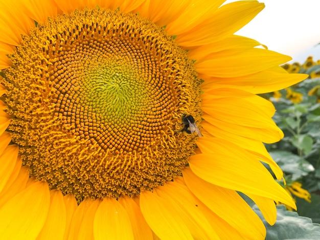 Honigbiene sammelt honig auf einer gelben sonnenblume